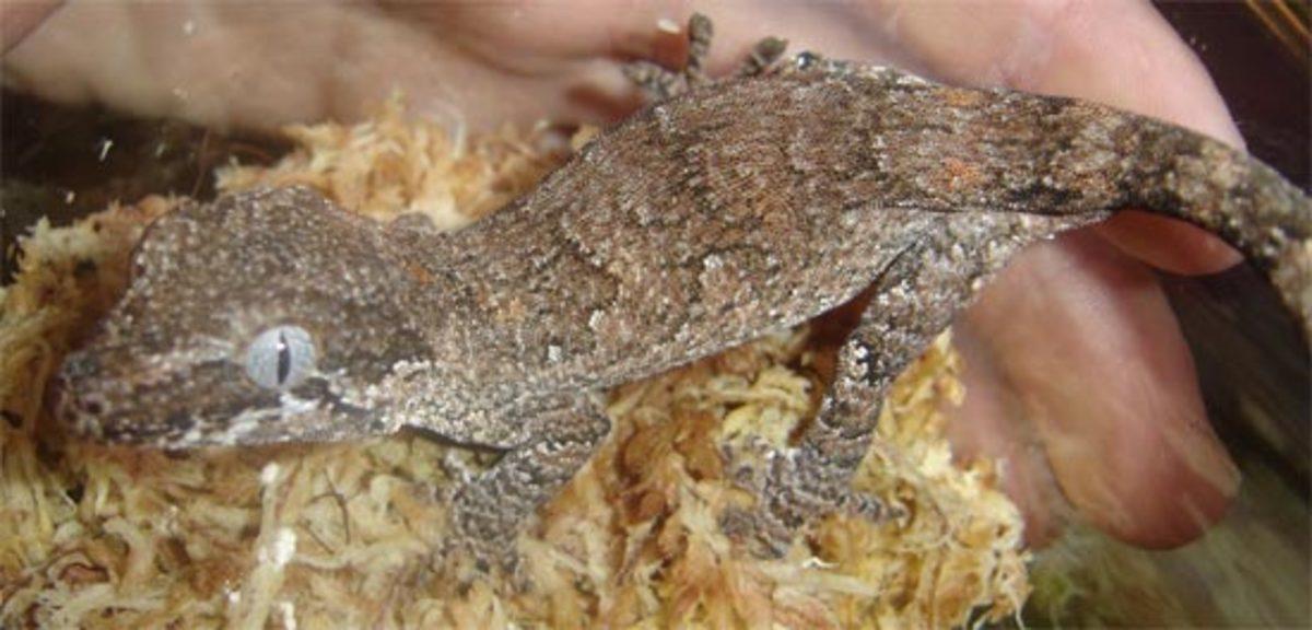 Retic Gargoyle Gecko