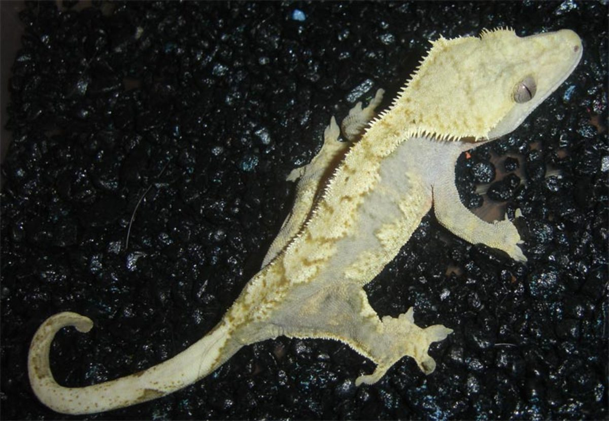 Cream Harlequin Crested Gecko
