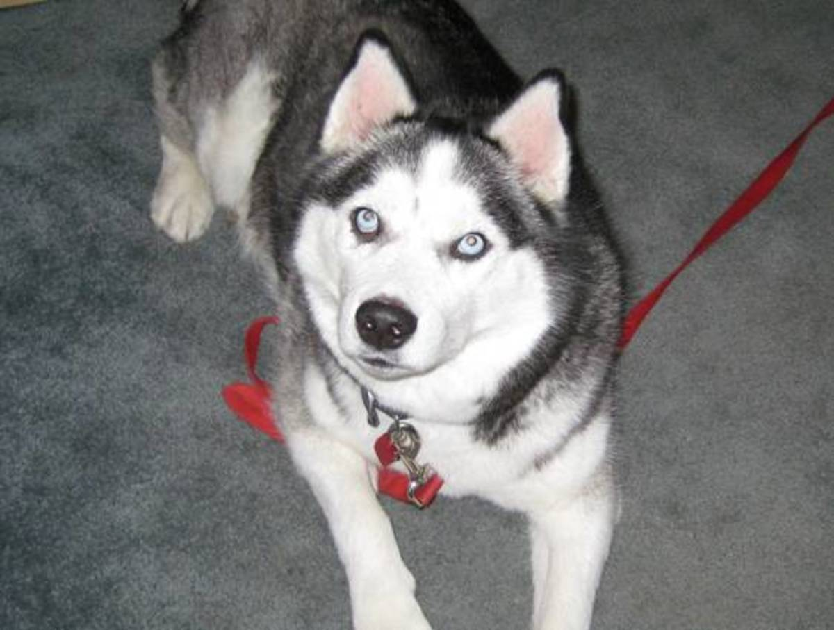 Five Things You Should Know Before Adopting a Siberian Husky
