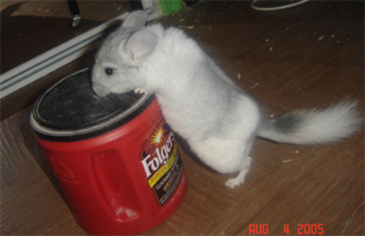 Common Chinchilla Ailments