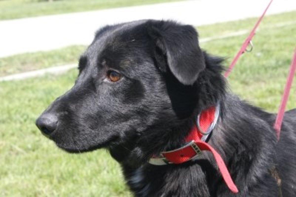 senior-dog-rescue-adopting-an-older-dog
