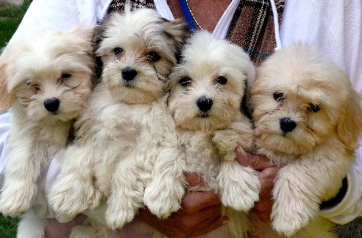 Havanese puppies.