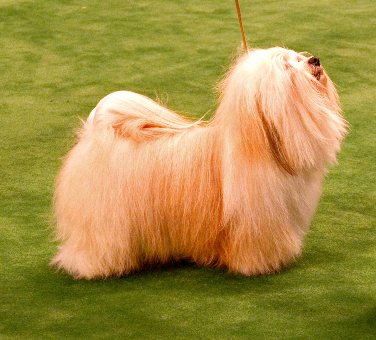 A Havanese show dog, with its fur left untrimmed, long, and brushed.