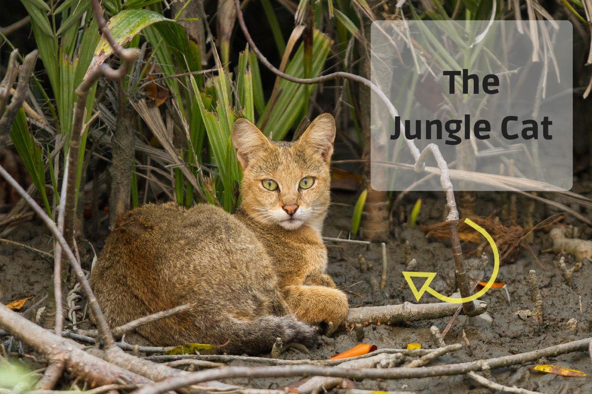 Chausies descend from the Jungle Cat.