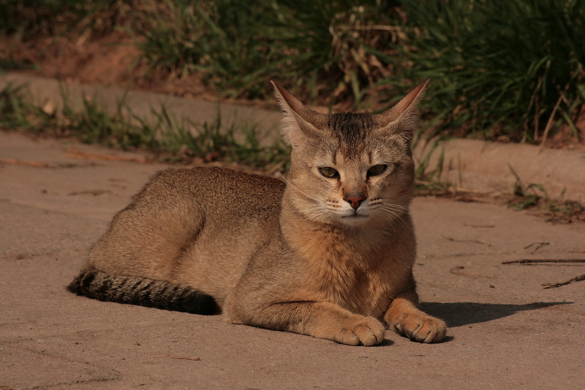 The breed retains the striking traits of its relative the Jungle Cat.