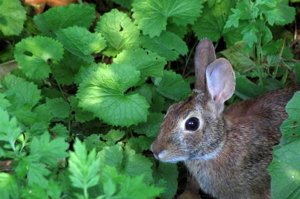 In the wild rabbits are able to fend for themselves and eat the nutrients they require.