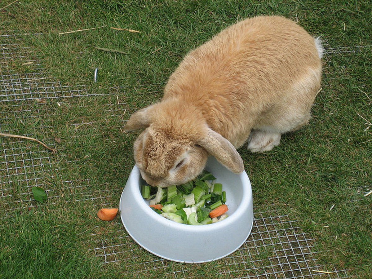 In captivity it is important rabbits are fed plenty of fiber and allowed to practice coprophagy.