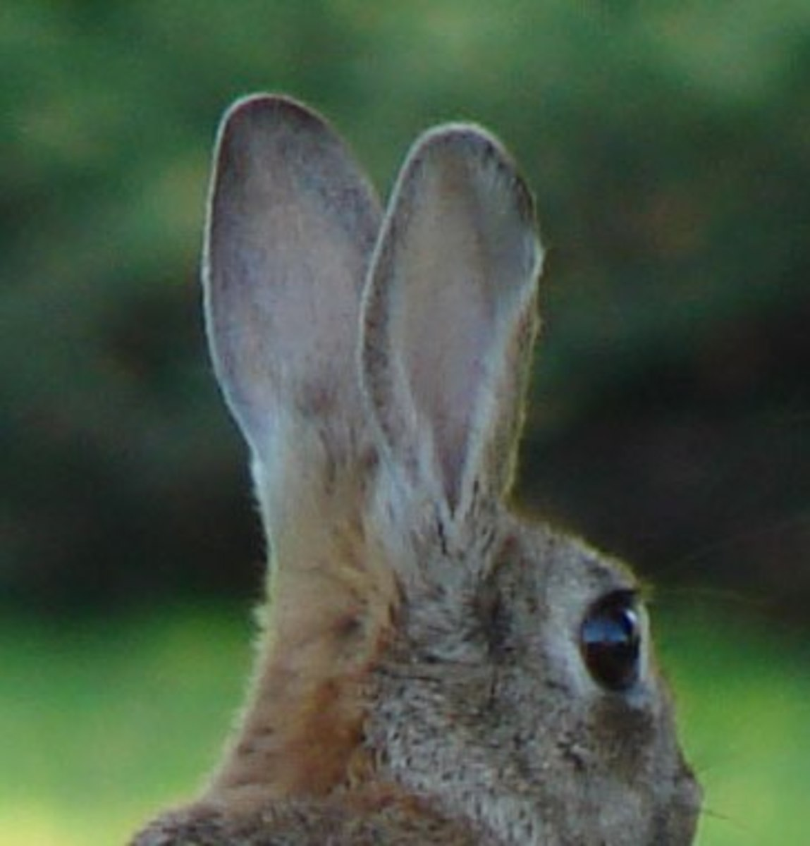 A rabbit's defenses depend on its ability to see, hear, and flee with speed and agility.