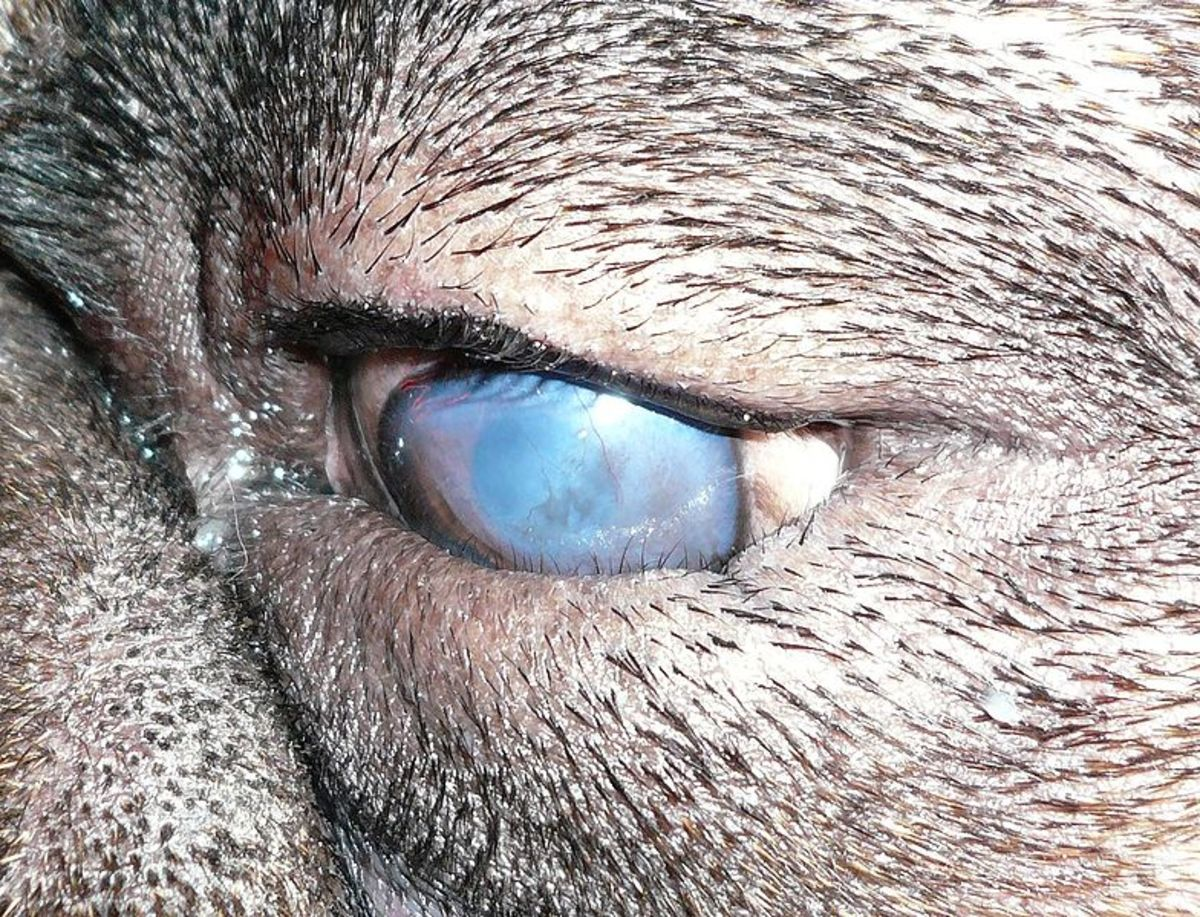 Entropion is related to the ideal diamond-shaped eye and eyelid of the Pug dog together with its loose facial skin which contribute to eye inflammation.