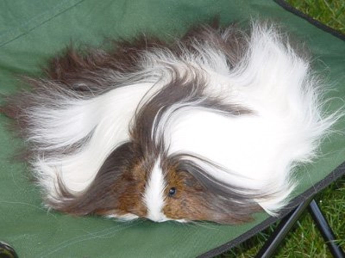 Sheltie or Silkie: notice hair only grows backwards