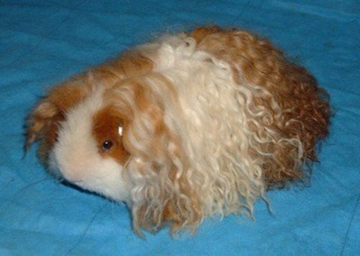 A Texel Guinea-Pig