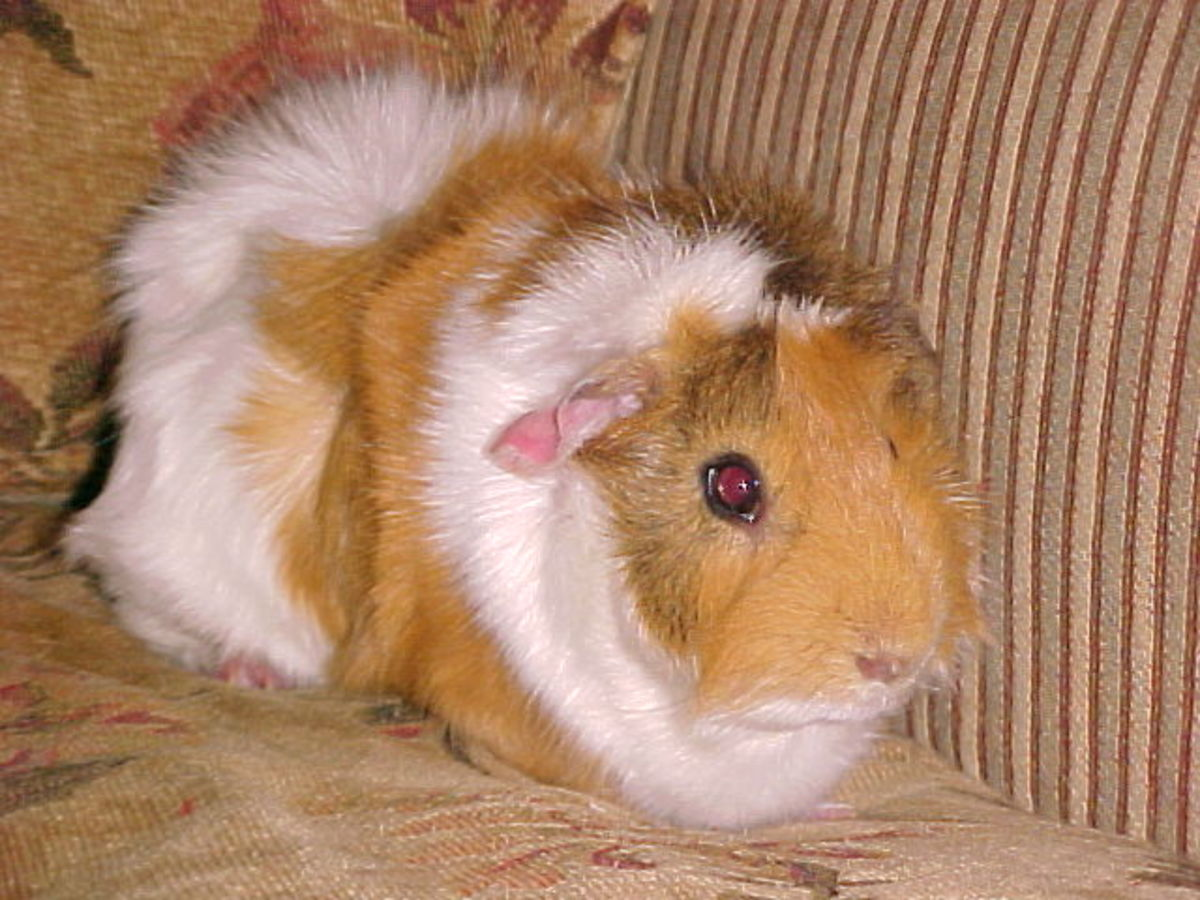 caring-for-your-guinea-pig-cavy