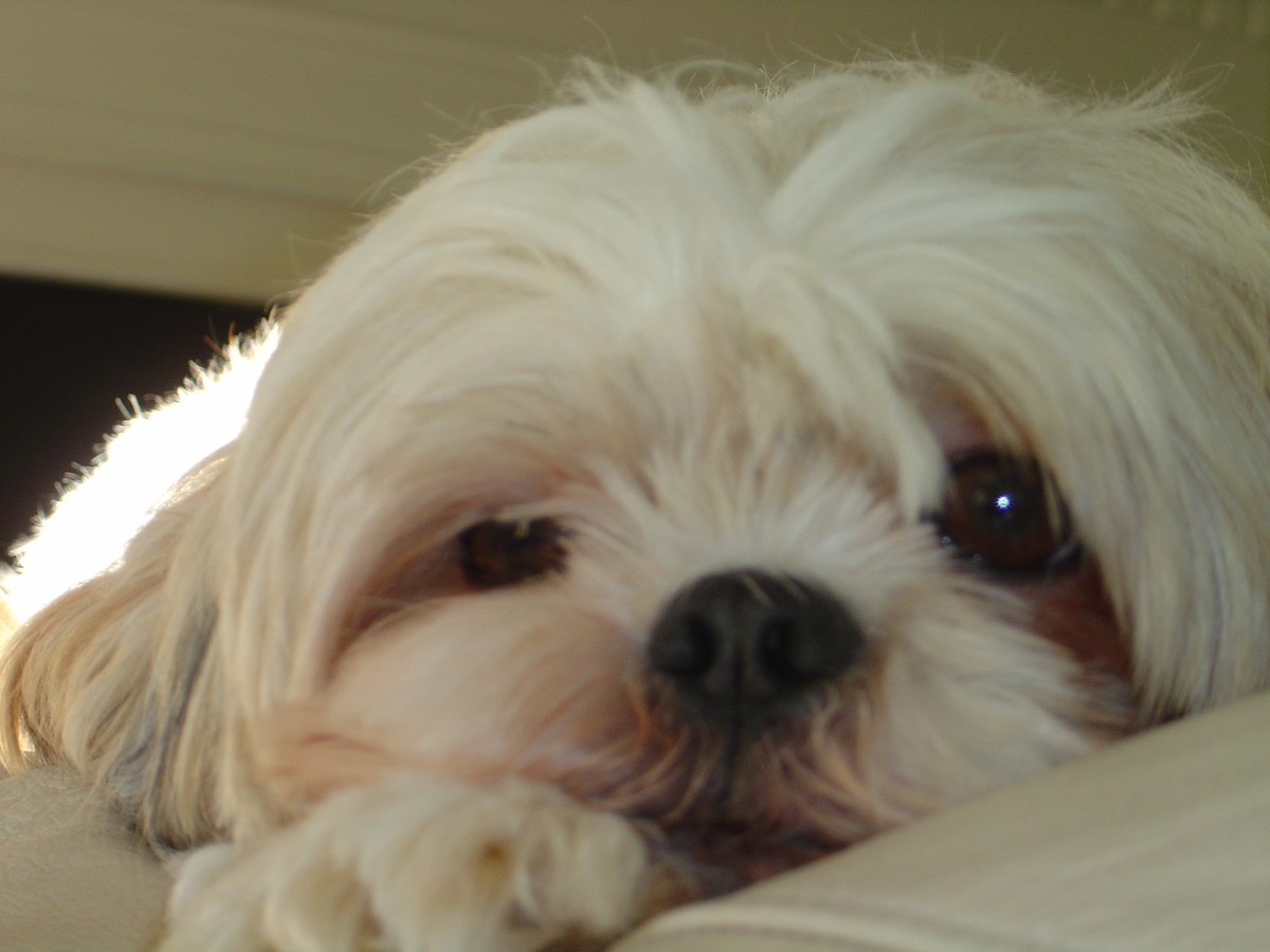 Grooming Your Shih Tzu Keeping Your Dog Clean Pethelpful