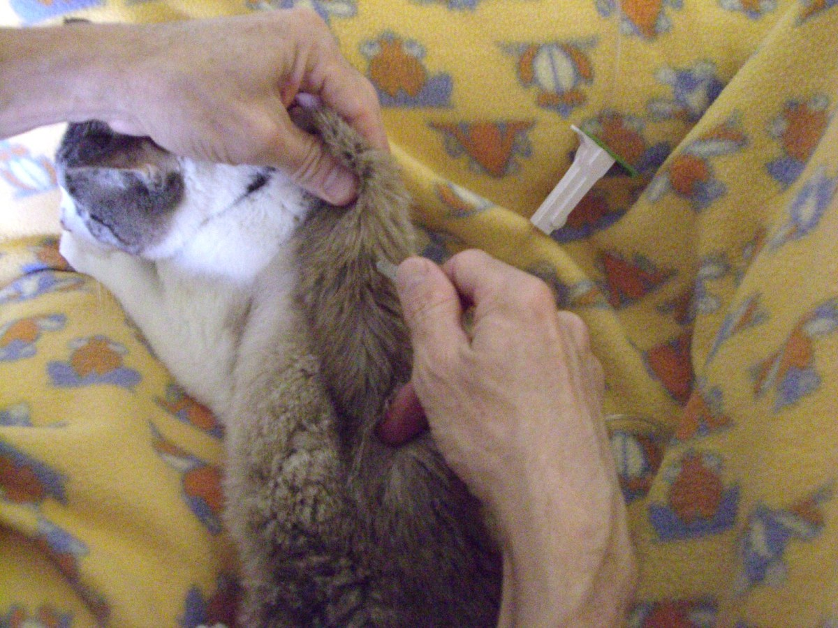 Push the exposed needle (hole side up, remember) into the cat's coat and gently release the scruff. This is easiest if you hold the scruff with the left hand and stick with the right.