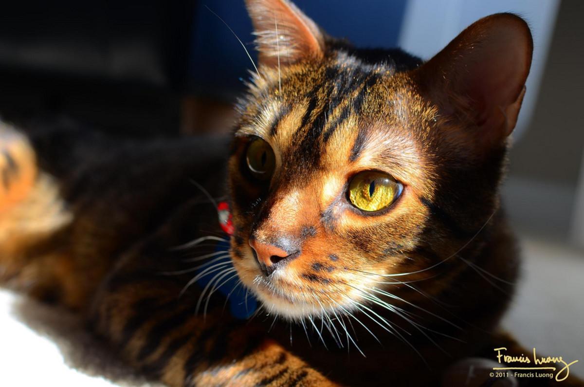 Gorgeous, unique domestic tiger cat.