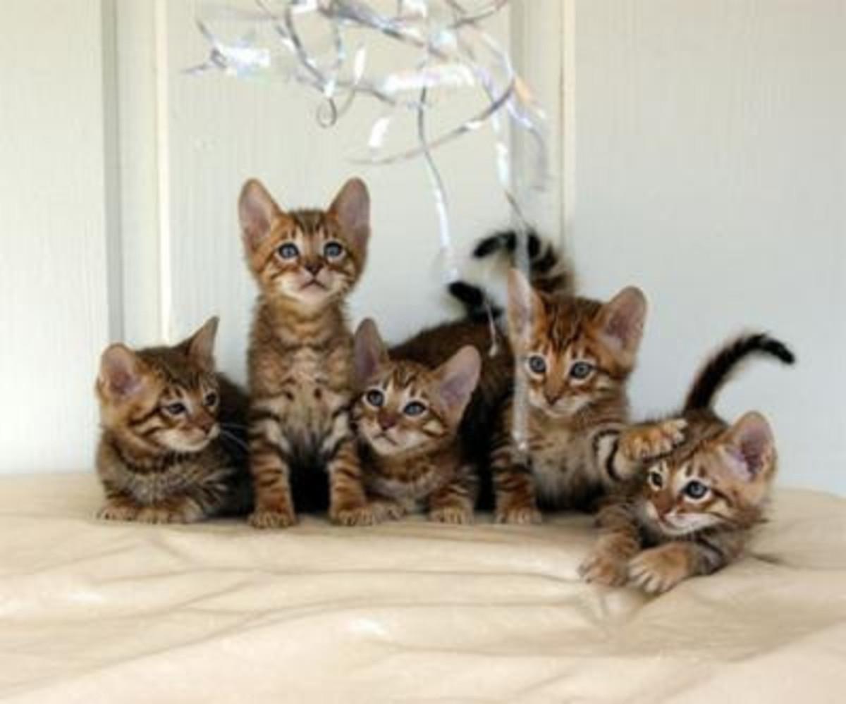 Toyger Kittens
