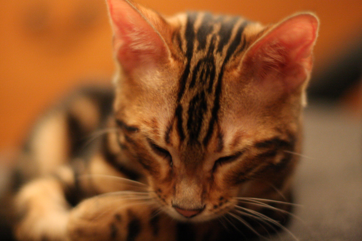 Toygers are an exotic breed of cat.