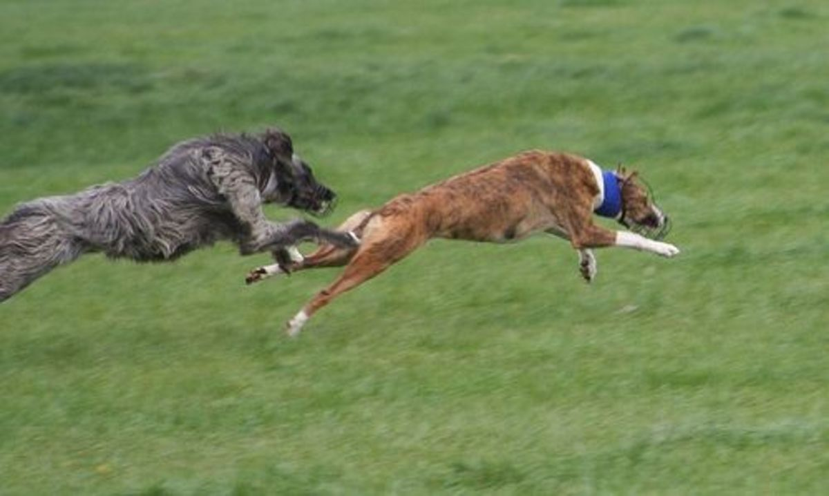 Lurchers are used in the sport of Lurcher racing!