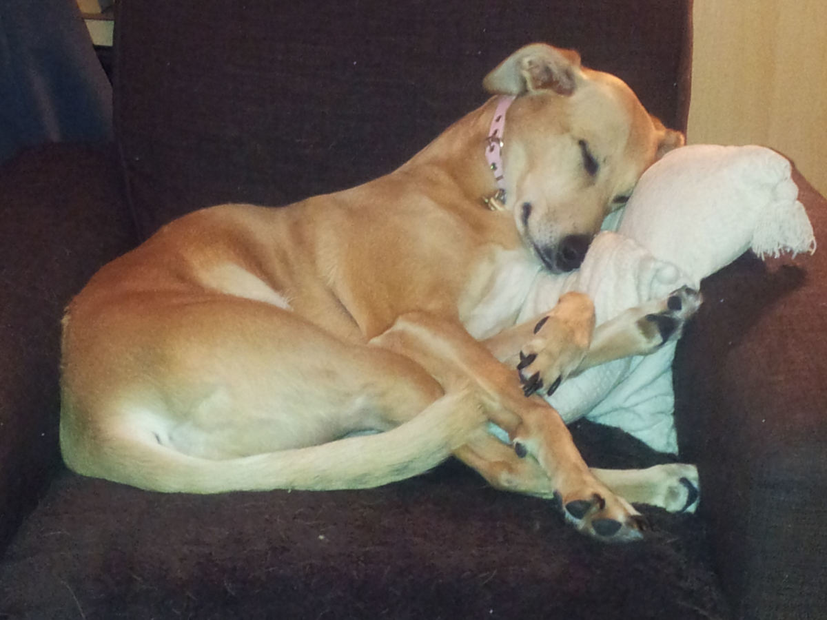 My Lurcher girl Amber doing her favourite thing - snoozing contentedly snuggled up nice and comfy on an armchair!