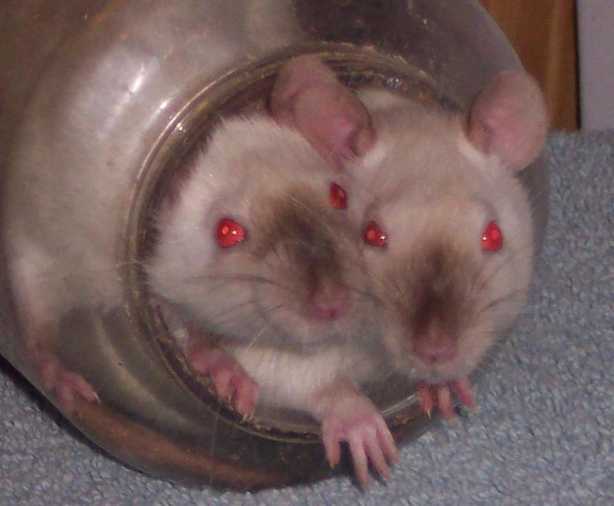 Himilayan rats.