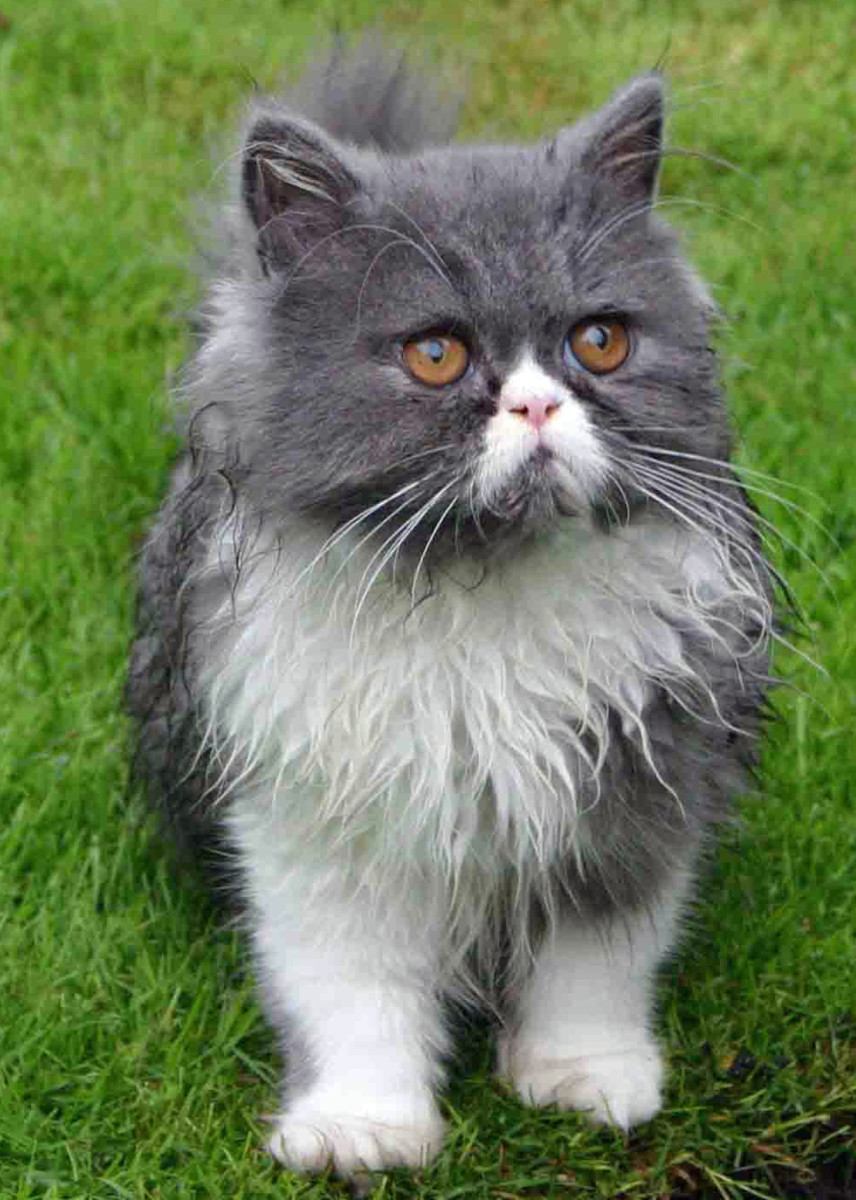 best-ways-to-care-for-your-persian-cat