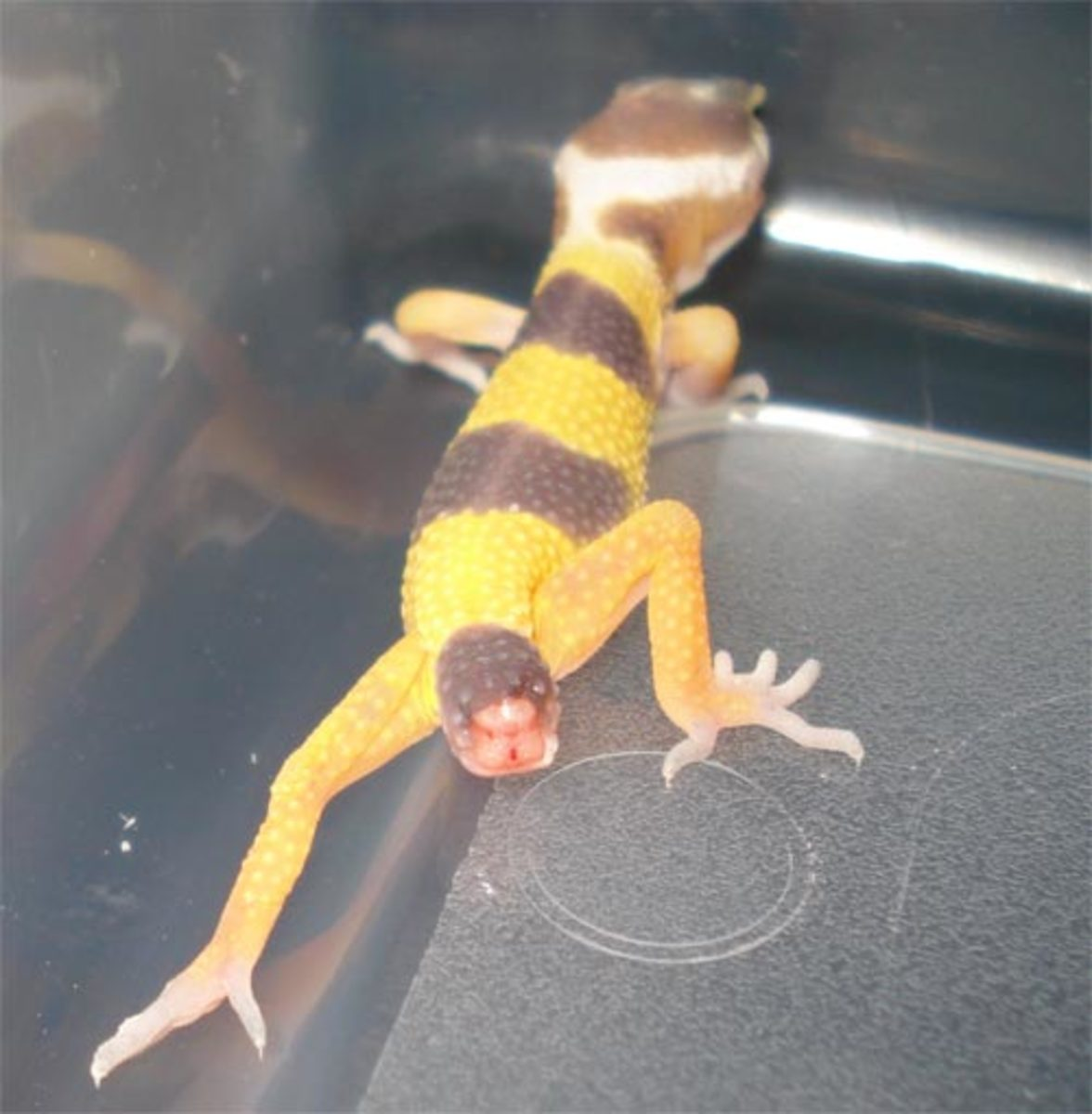 Leopard Gecko Tail Dropping
