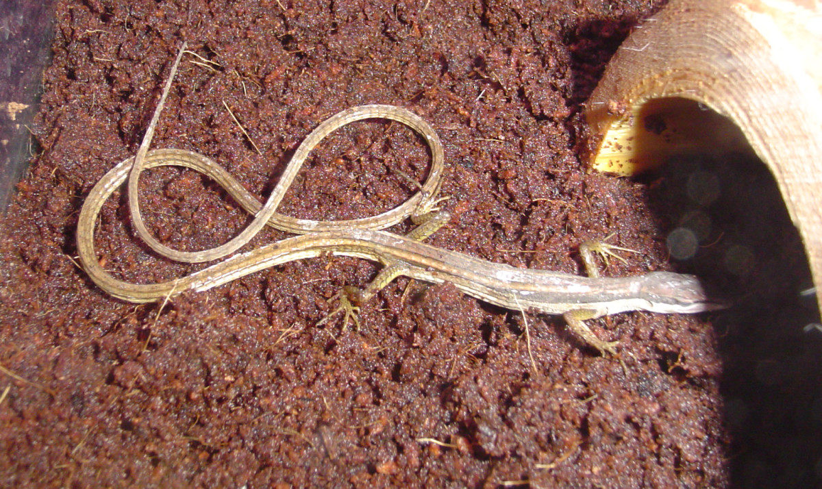 Long-tailed grass lizards are a popular pet among reptile enthusiasts.