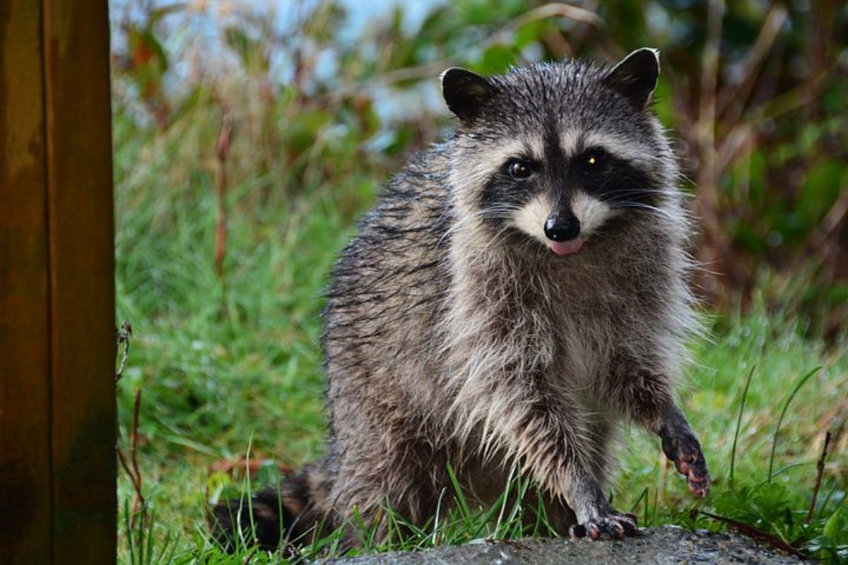 Clever entertaining raccoons can be clever entertaining pests.