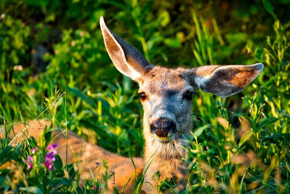 One deer eating flowers in a patch of grass is nice to watch.
