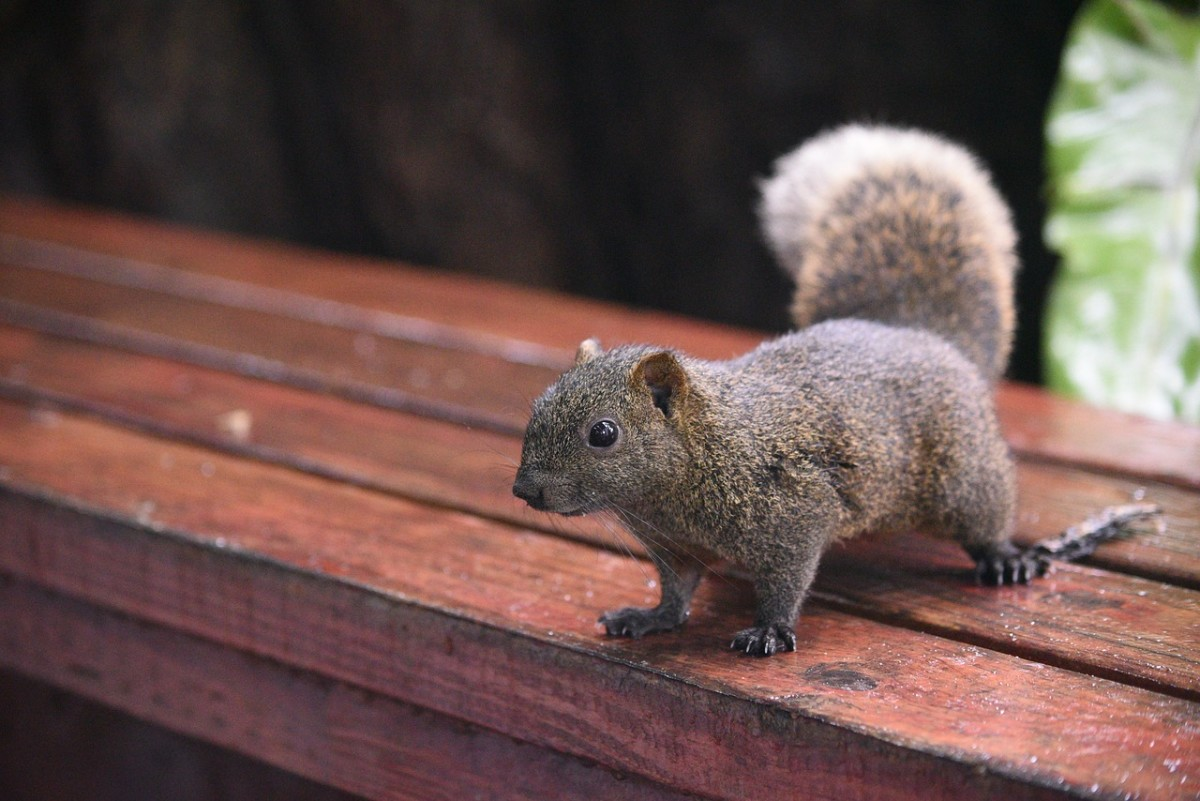 Squirrels also love free lunch in the form of seeds from bird feeders.