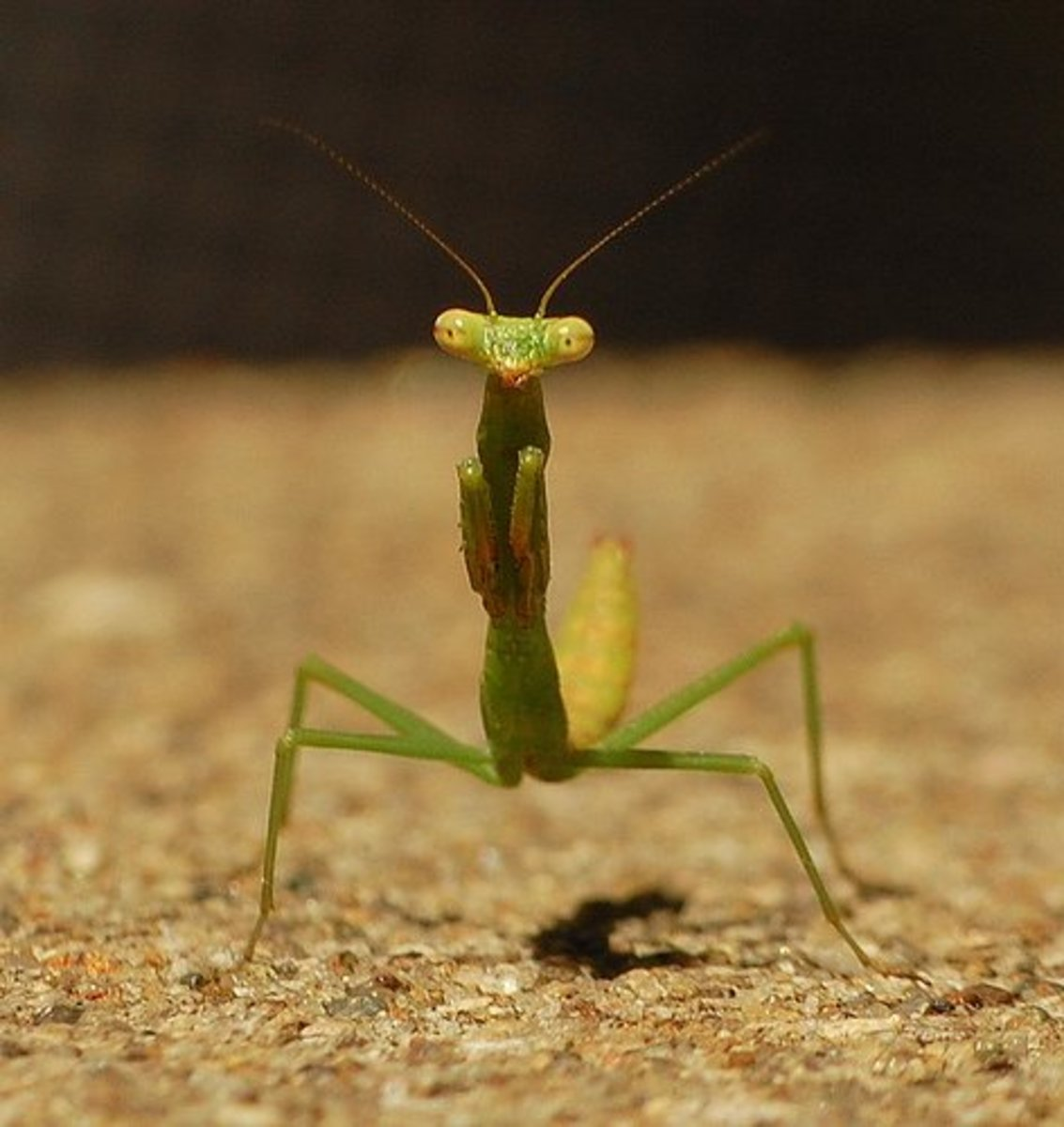 Photo by jenn_jenn. The upward curve to this mantis's body suggests that he is nervous.