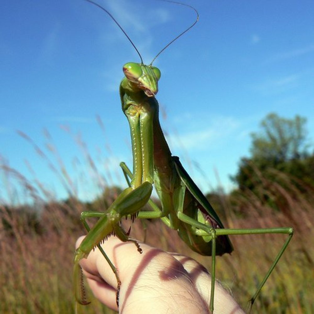 How To Care For A Pet Praying Mantis Pethelpful