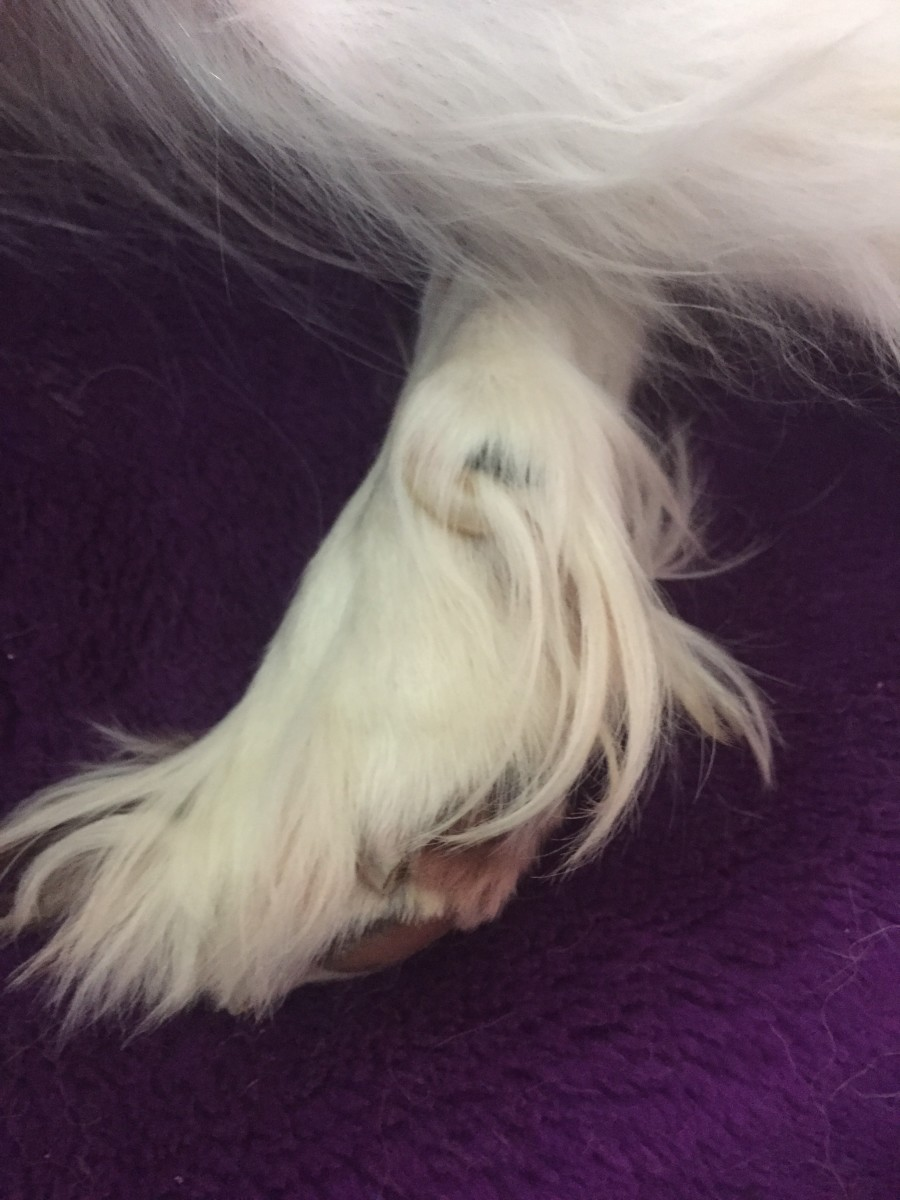 Rear dewclaws will require regularly trimming, as they do not wear down naturally