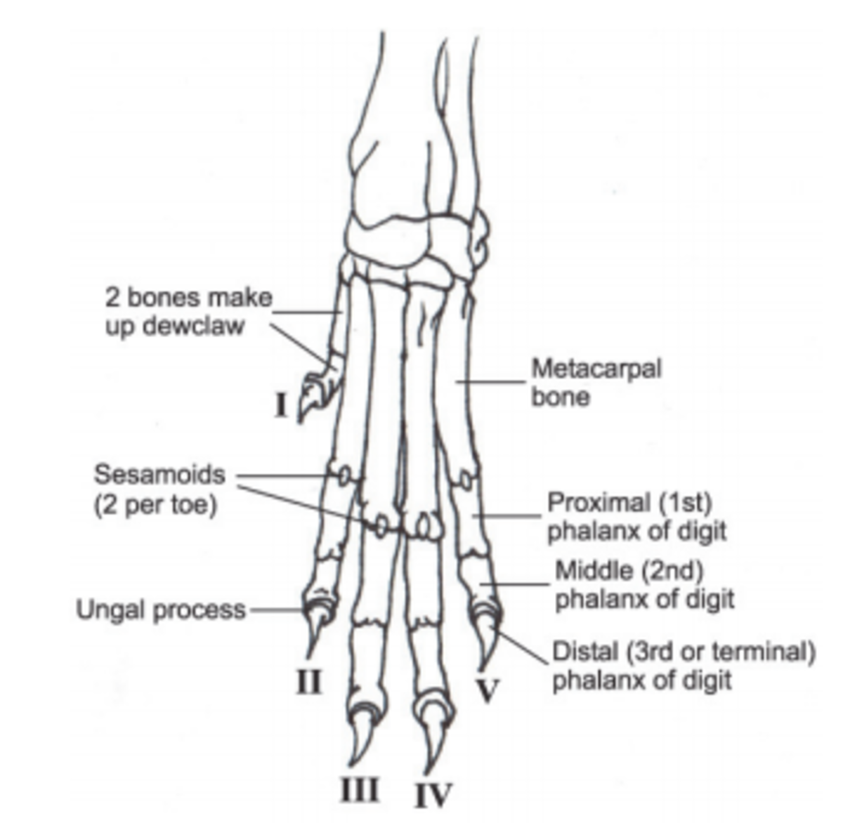 When looking at the bones of a dog's paw, it can actually appear more like a hand, and it becomes obvious that the dewclaw is an integral part.
