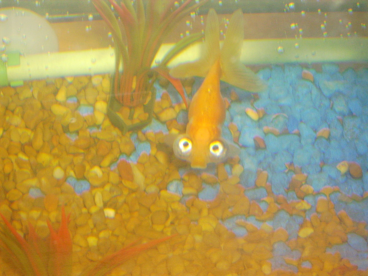 Celestial eye goldfish should only be kept with other fancy goldfish.