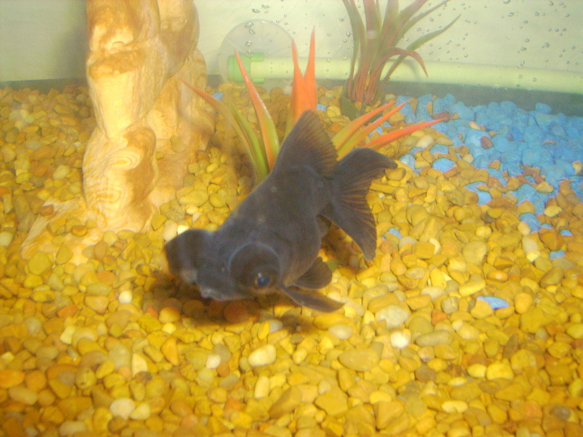 PookPook: a healthy Black Moor Goldfish.
