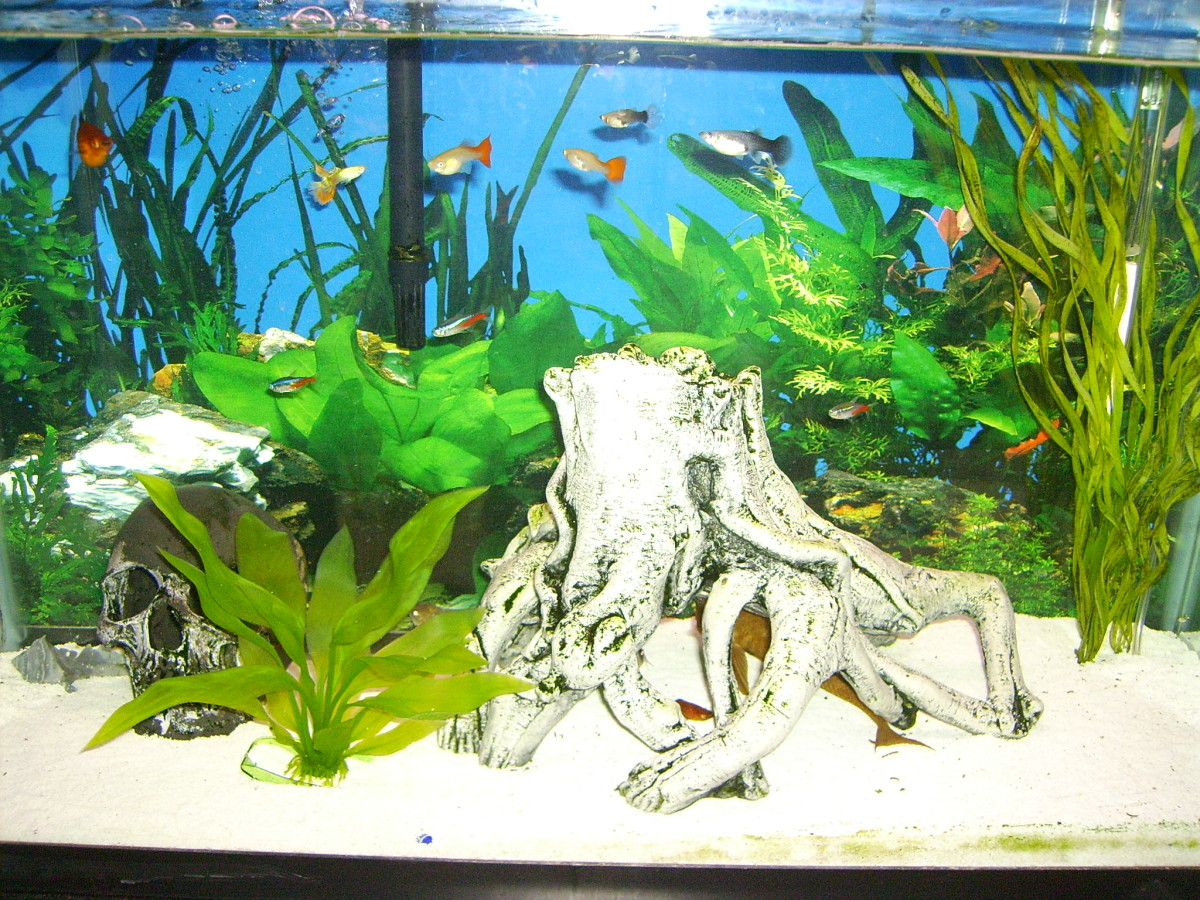 This is our current tank. Residents include plattys (red with black fins), neon tetras, guppies, a very large chocolate albino plecostomus, two corydoras catfish and two apple snails.