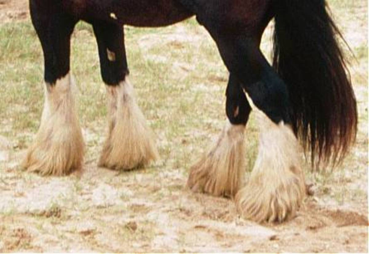 Draft horses with long feathers are prone to grease heel.