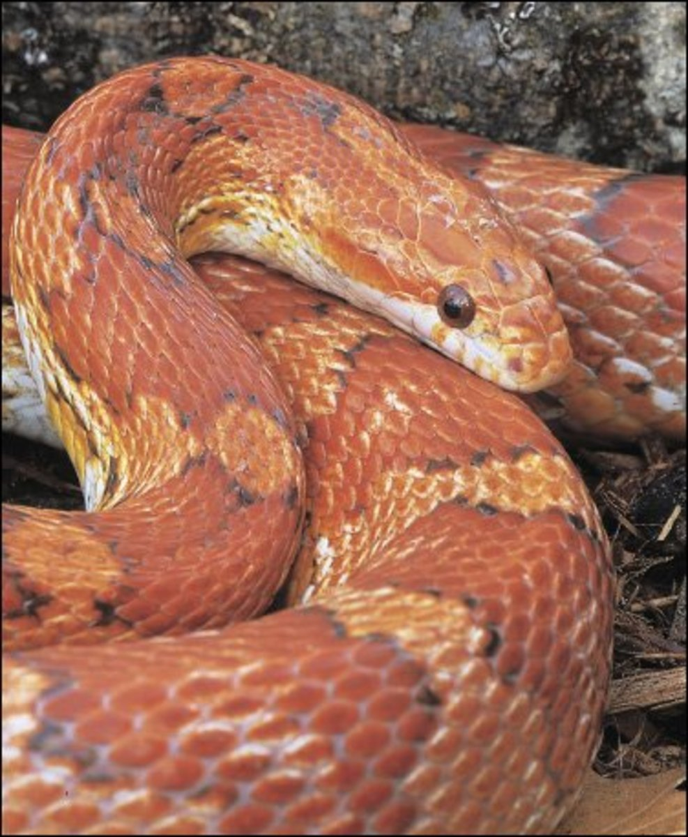 Corn Snakes, Ball Pythons, and Red Boas—Good Beginner Snakes