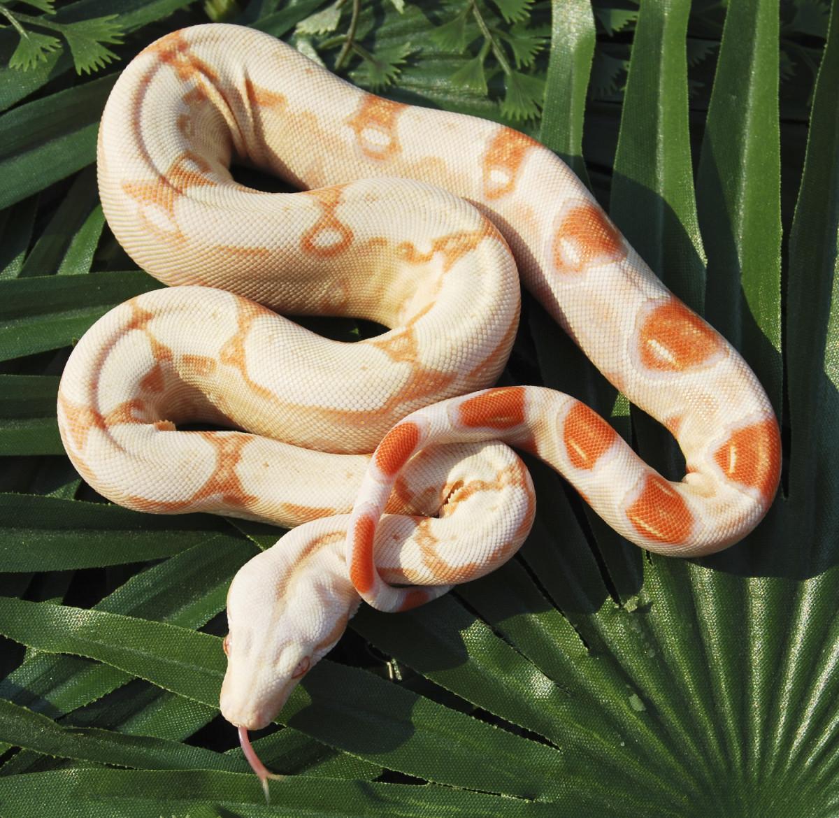 Albino red-tailed boa constrictor