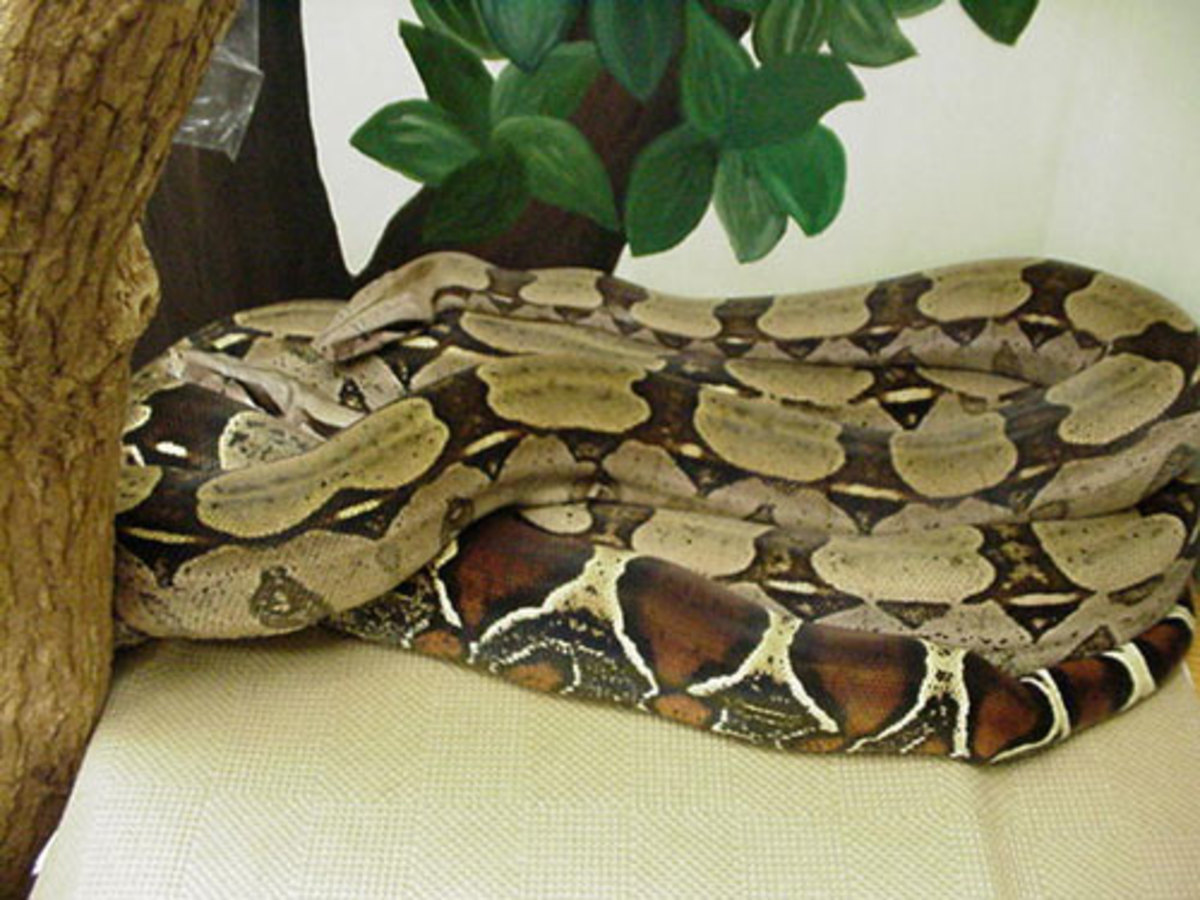 """""""Normal"""" red-tailed boa constrictor"""
