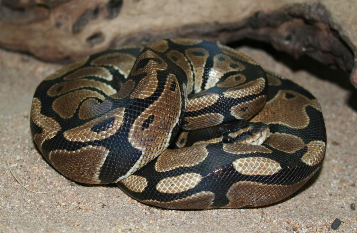 """Normal"" Ball Python"