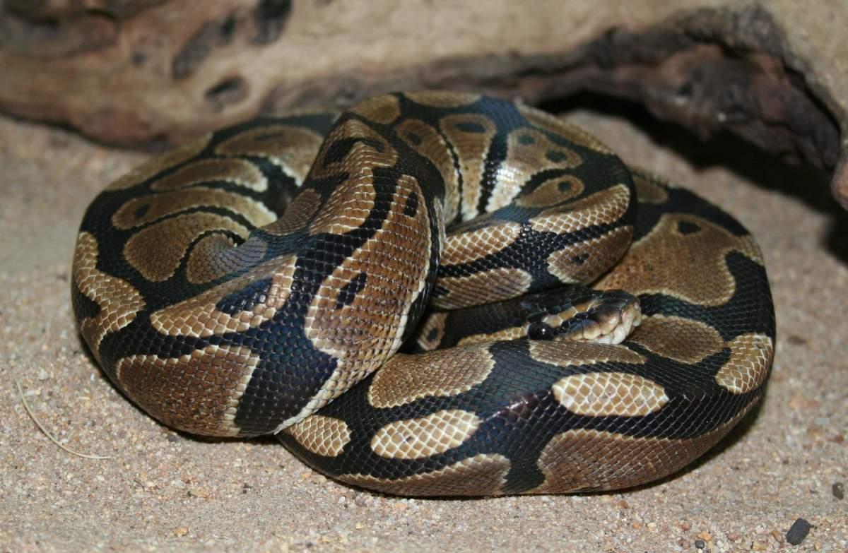 """""""Normal"""" ball python"""