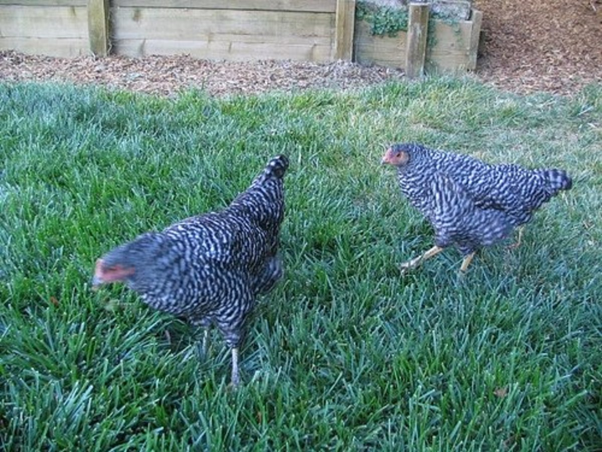 Chickens looking for scattered treats.