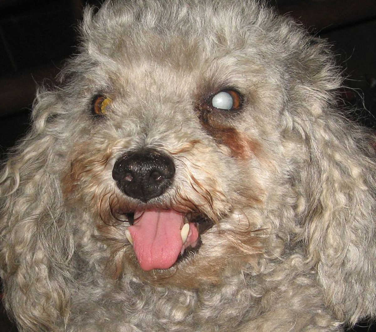 Cataracts are a common complication of canine diabetes, often causing sudden blindness.