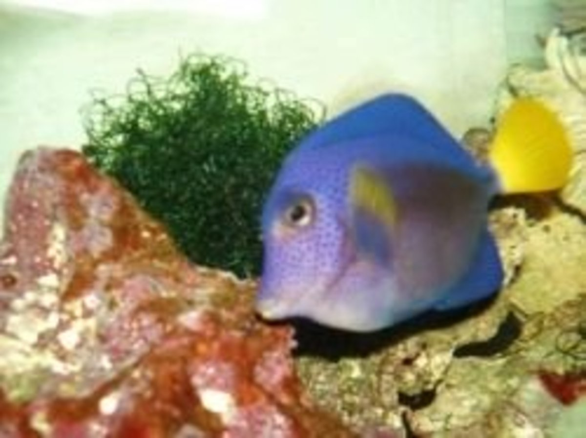 Photo of Purple (bleep!), my purple tang and Porky's tankmate of almost eight years.