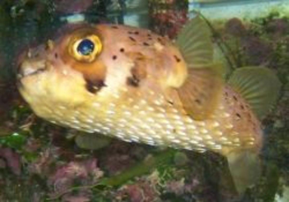 Diodon holocanthus in home aquarium