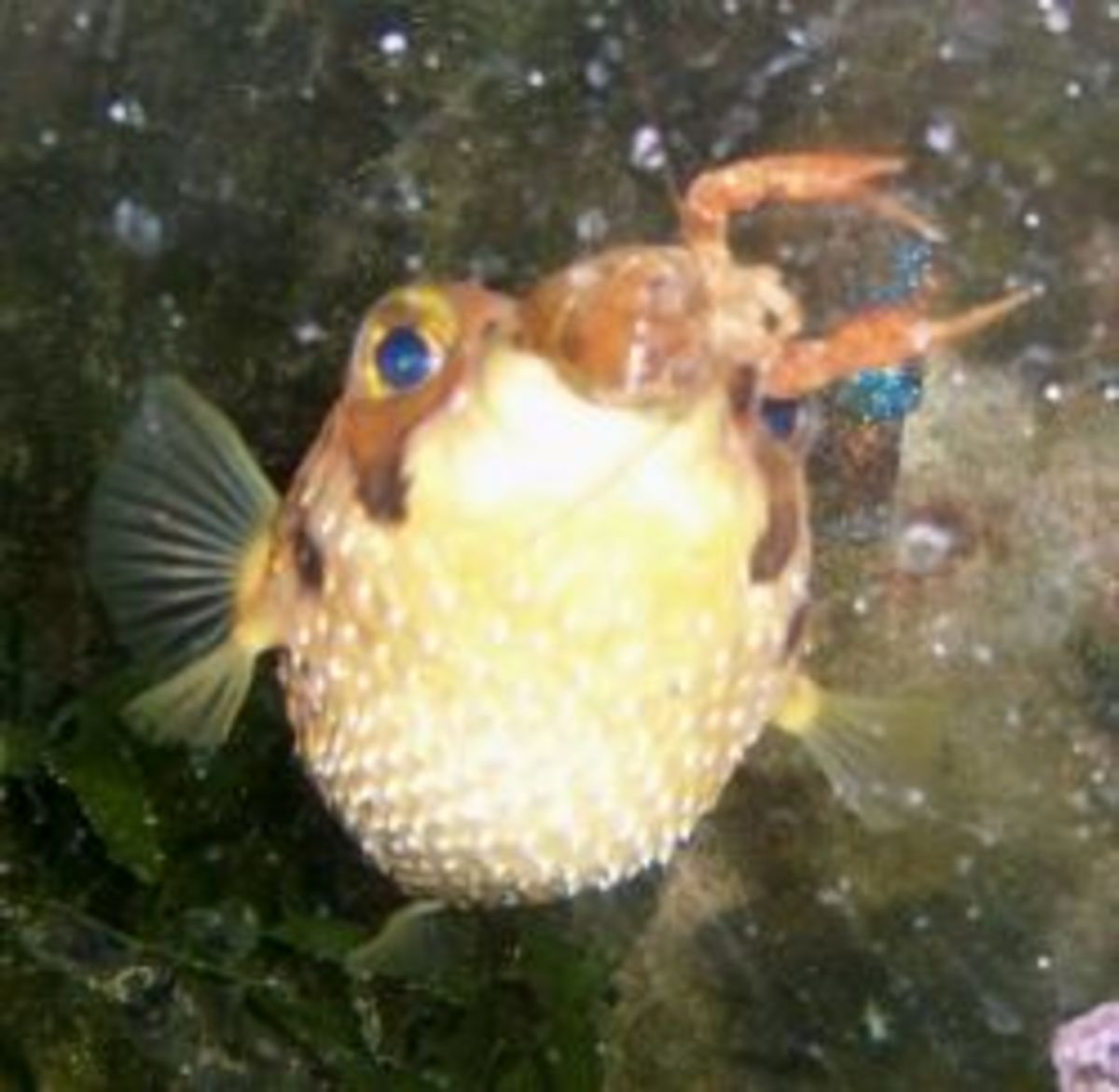 My porcupine puffer eating a crayfish