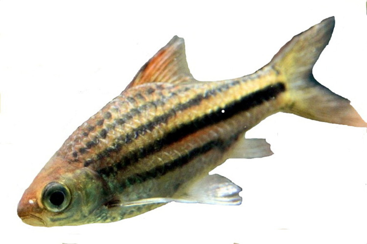 "While Schuberti barbs are the ones most commonly referred to as ""gold barbs,"" several others—such as this Lineatus—may be labeled as gold barbs in stores"
