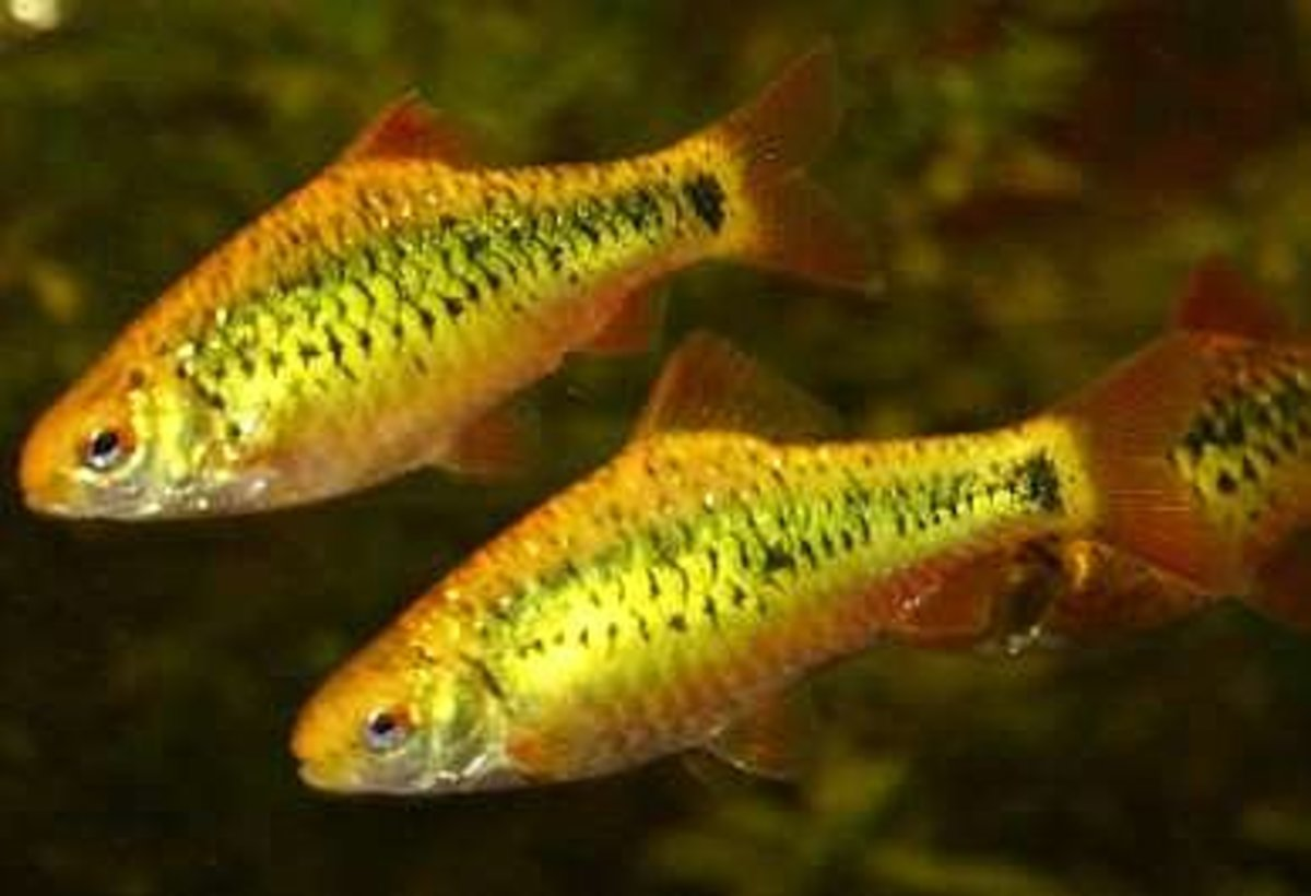 The gold barb makes a bright, attractive addition to virtually any small semi-aggressive community tank.